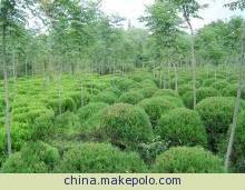 供应球类绿化植物蜀桧球