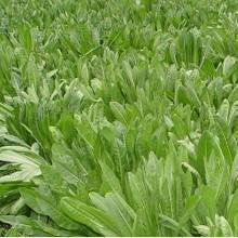 牧草种子菊图片/牧草种子菊样板图 (3)