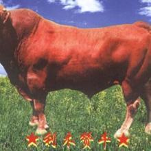 供应湘西黄牛养殖湘西黄牛养殖