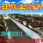 河北遵化肉牛养殖场图片