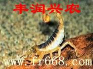 供应养殖蝎子山东养殖蝎子湖北养殖蝎子加盟广东人爱蝎子养殖蝎子效益批发