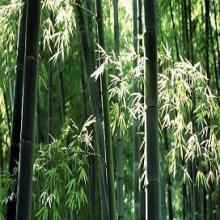 供应成都楠竹竹类工程苗木批发