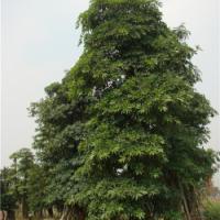 供应广东盆架子基地盆架子价格盆架子树