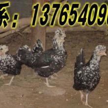 供应安顺贵妃鸡苗批发,安顺贵妃鸡养殖基地,安顺贵妃鸡鸡苗,批发贵妃鸡图片