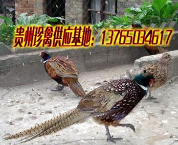 供应铜仁野鸡,铜仁野鸡批发,铜仁野鸡养殖场,铜仁野鸡价格,铜仁野鸡苗
