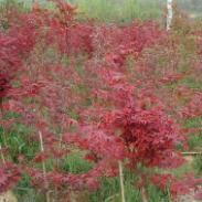 2012年日本红枫苗最新报价图片