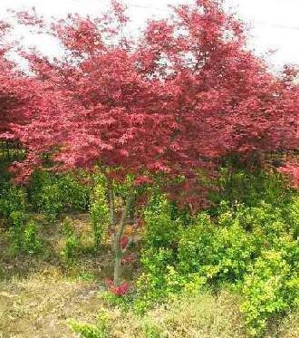 供应广西日本红枫树苗最大的供应商,日本红枫苗高10到30公分