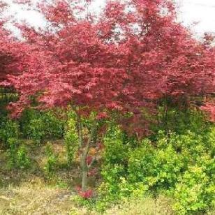 日本红枫树苗最大的供应商图片