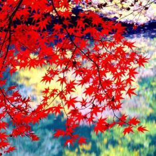 日本红枫苗批发价格图片