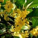 丹桂八月桂花图片