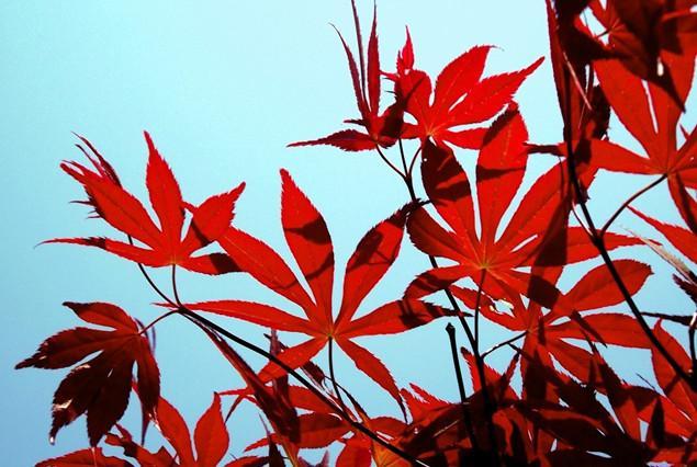 供应日本红枫树苗哪里有,日本红枫苗1万株,日本红枫苗高10到30公分