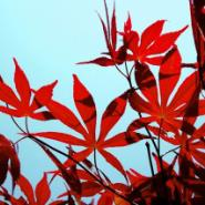 日本红枫树苗哪里有图片