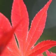 日本红枫树苗基地图片