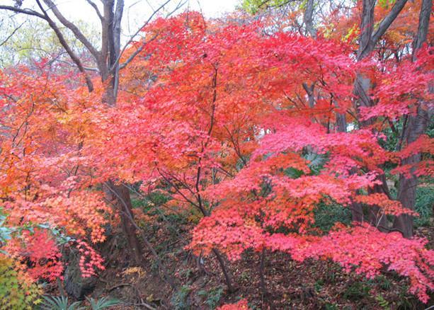 供应广西日本红枫树苗,日本红枫苗高10到30公分