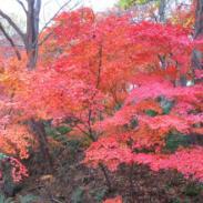 广西日本红枫树苗图片
