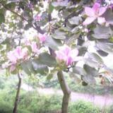 供应宫粉紫荆香港紫荆,各种规格大量供应,价钱价格