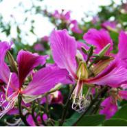 洋紫金苗木图片