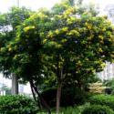 黄槐四季花图片