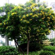 广西黄槐供应商图片