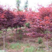 供应日本红枫苗最新报价,日本红枫苗1万株,日本红枫苗高10到30公分