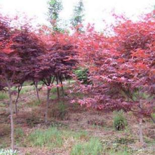 日本红枫苗最新报价图片