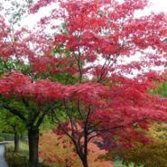 日本红枫苗高10到30公分批发图片