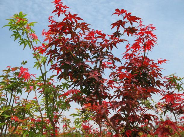 供应广西日本红枫苗,日本红枫苗1万株,日本红枫苗高10到30公分