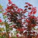 广西日本红枫苗供应商图片
