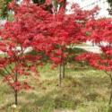 广西日本红枫苗批发价格图片