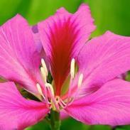 广西柳州洋紫荆树苗图片
