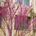 广西哪里有夹竹桃苗种植基地图片