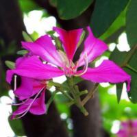 供应洋紫荆宫粉香港紫荆,基地供应各种规格量大,价钱价格便宜。