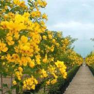 广西最大的黄槐种子供应商图片
