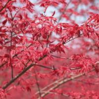 供应广西日本红枫苗高10到30公分,日本红枫苗高10到30公分价格