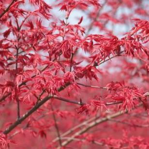 广西日本红枫苗高10到30公分图片