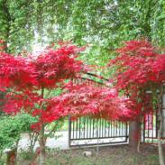 广西日本红枫苗1万株供应商图片