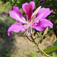 广西紫荆图片