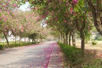供应香港洋紫荆柳州基地大量出售,大树小苗,直径1一12公分,价格