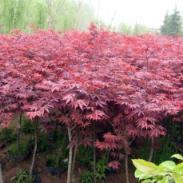 广西日本红枫苗图片