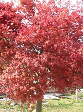 供应广西日本红枫树苗最新报价,日本红枫苗高10到30公分