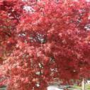 广西日本红枫树苗最新报价图片