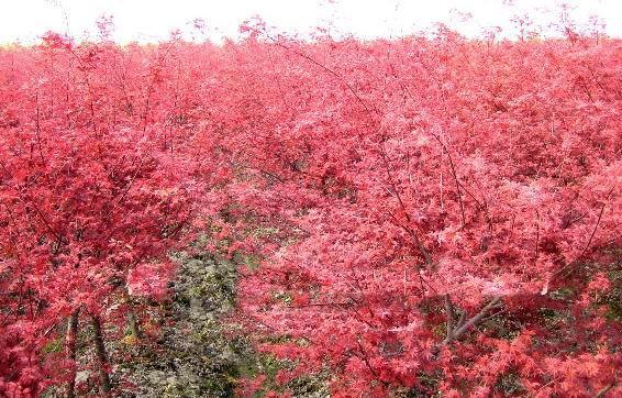 供应广西日本红枫树苗基地,日本红枫苗高10到30公分