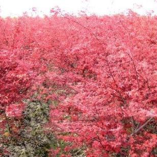 广西日本红枫树苗基地图片