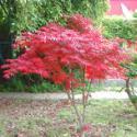 供应日本红枫苗1万株供应商,日本红枫苗高10到30公分,日本红枫苗
