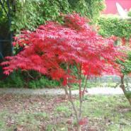 日本红枫苗1万株供应商图片