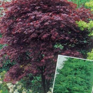 红红枫日本红枫图片
