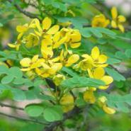 广西哪里的黄槐最好图片