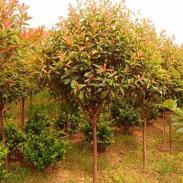 日本红枫树苗批发商图片