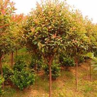 供应日本红枫树苗批发商,日本红枫苗1万株,日本红枫苗高10到30公分