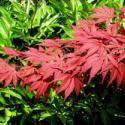 供应广西日本红枫苗1万株供应,广西日本红枫苗1万株价格
